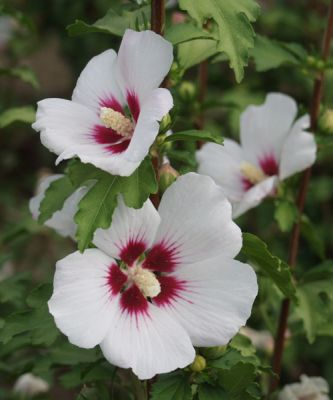 Ibišky ( Hibiscus )