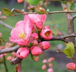 Kdoulovce ( Chaenomeles)