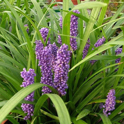 Liriope Royal Purple