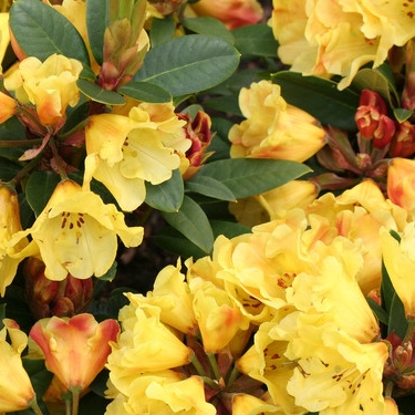 Rododendron Golden Everest