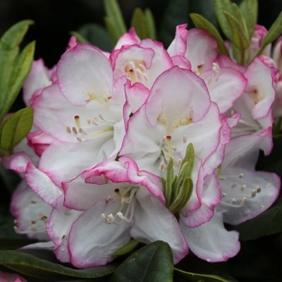 Rododendron Picotee