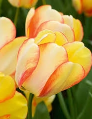 Tulipán Darwin Hybride Beauty of Spring - 100 ks